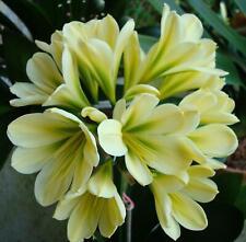 2 Amaryllis Usa Clivia Seeds Tk Daruma Yellow #4 X Hattori Teresa