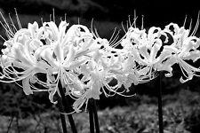 5 pc Pure White Lycoris Bulb,Spider Lily,Lycoris Radiata, Bonsai Bulbs Flower