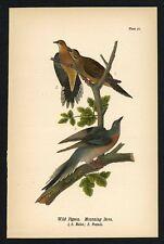 Pigeon, Dove, Vintage 1890 Chromolithograph, Color Bird Print, Antique, 071