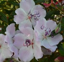FOXXY BABY TIBOUCHINA large bicoloured pale flowers dwarf plant in 140mm pot