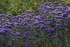 Elegant Verbena Bonariensis tall airy autumn grace cut flower bee & butterflies