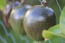 Passionfruit 'PANDORA' Seeds Very Large Delicious Sweet Fruit Evergreen