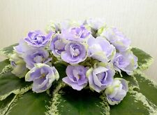 BUCKEYE SEDUCTRESS African Violet Starter Plant, GREAT SHOW PLANT!!!