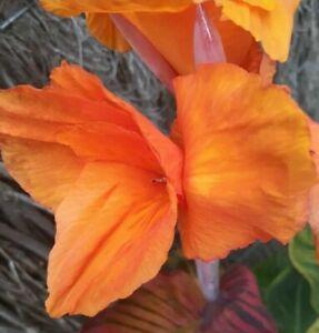 Wyoming Orange Variegated Leaf Tall Plant with Rhyzomes dark leaf Tropical 40cm