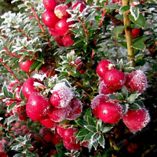 Gaultheria Pumila Bonsai Plants Fruit Home Garden Easy To Grow New 10 Pcs Seeds