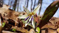 Hundszahn Erythronium dens-canis Zahnlilie mystische Zauberpflanze Aphrodisiakum