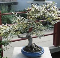 Bonsai i! ÖLWEIDE !i winterhart frosthart Balkon Garten Zimmerpflanze Saatgut