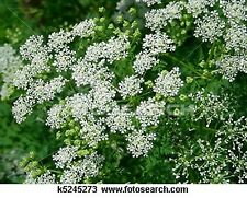 Queen Anne's Lace- 500 Seeds - 50 % off sale