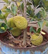 5 Seeds Bonsai Dwarf Jack-Fruit High production dwarf Jack-fruit Seeds