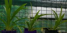PANDAN PLANT Edible 20-30cm ONE Bare root  Fragrant Asian Pandanus Amaryllifo