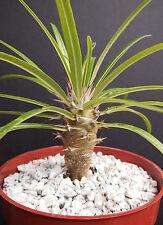 "Pachypodium geayi @ rare madagascar palm plant cactus cacti caudex bonsai 4"" pot"