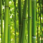 Bamboo - Stalks Plants Forest Poster Art Print (28x28in) #61539