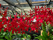 Bin-Renanthera Kalsom 'Red Dragon' Best Seller! Mature Size! Grows in full sun!