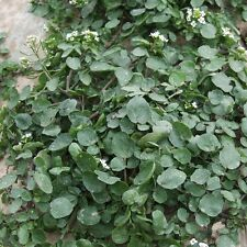 Cress Seeds - Watercress - 5 gm