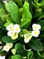Gold White Crown of Thorns Cuttings/Corona de Cristo/Euphorbia Milii