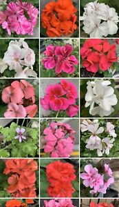 Geranium Cuttings 10 Mixed Cuttings Beautiful Colours Free Postage