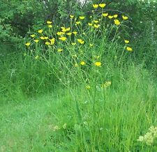 Wildflower semences-meadow buttercup - 100 graines