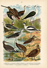 Antique Print-PIED AVOCET-WOOD SNIPE-Germany-1890