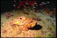 141049 stonefish A4 FOTO STAMPA