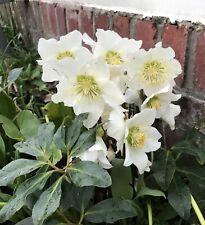 Ellébore orientalis Superior hybrides unique Floraison formes 20 graines semer maintenant