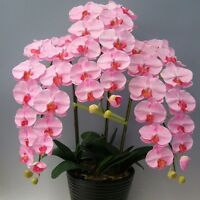 Orchid Seeds Rare Orchid Seeds Phalaenopsis Orchids Seeds Flower Orchids Bonsai