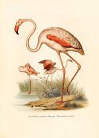 """Vintage Audubon Bird Art CANVAS PRINT~ Flamingo Poster 24""""X18"""""""