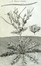 Papaya cornutum Poppy cornu Plant Botany Geoffroy Garsault Engraving 18th