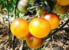 Indigo Sun Tomato Seeds Free shipping blue black