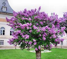 Perennial shrubs purple Flower tree seeds -Early Lilacs Syringa oblataLindl.