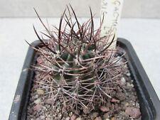 PYRRHOCACTUS ANDREAEANUS LF016  cactus plant ariocarpus copiapoa