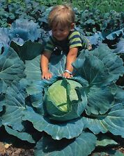 Vegetable - Kings Seeds - Pictorial Packet - Cabbage - Brunswick