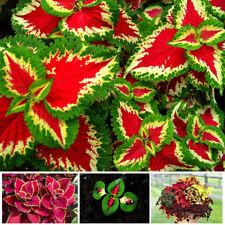50Pcs Mix Colors Blumei Seeds Colorful Flowers Leaves Plant Home Decor Garden