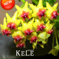 100 PCS Seeds Green Hoya Carnosa Bonsai Potted Flowers Plants Home Garden 2019 N