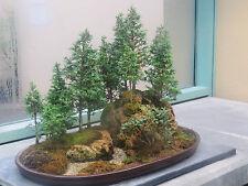 Rare Bonsai, Japanese Bonsai Tree Seeds, Uk Stock 10 Seeds