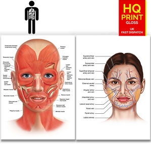 FACE ANATOMY MUSCLE /VEINS Detailed EDUCATIONAL SCIENCE poster print A4 A3 A2 A1