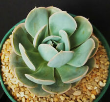 Echeveria Derenbergensis rare succulent hen and chicks aloe plant seed -15 SEEDS