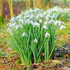 50 Galanthus Snowdrops Bulbs Spring Flowering Bulbs Gardening Plants Flowers