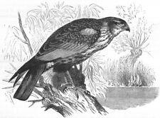 BIRDS. Raptorial. True Kite. Reed Marsh Harrier c1870 old antique print