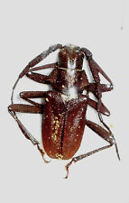 PRIONINAE Scatopyrodes aspericornis  NEW SPECIES 2018 male MEXICO