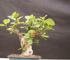 Bonsai-Figuier 20 graines
