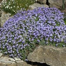 Rock cress 100 Seeds Compact Grecian Blue Rock Garden Hills Rockcress Free Ship!