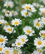 OX EYE  DAISY WILDFLOWER SEEDS COTTAGE GARDEN OXEYE DAISY HP  12,000 SEEDS