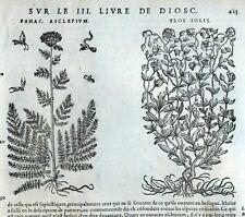 Flores Flos Solis Grabado Botánica Matthioli Mattioli Matthiole Dioscorides
