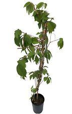 2 Virginia Creeper - Parthenocissus Engelmannii   - 2-3ft Tall in 2L Pots