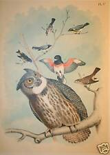 Antique Great Horned Owl Print, Studer, EC, 1903!