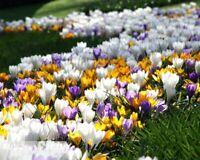 100Pcs Saffron Flower Seeds Rare 4 Kinds Perennial Plants Beautiful Home Lawn
