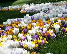 100Pcs Saffron Flower Seeds Rare 4 Kinds Perennial Plants Beautiful Home Lawn