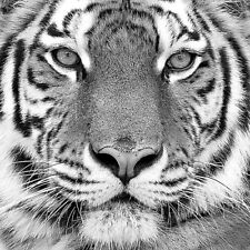 BEAUTIFUL TIGER FACE POSTER black and white animal bengal 20x20 art print