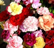 Mixed Color Carnation Seed Dianthus Caryophyllus Seeds ~1 Pack 30 Seeds~ A