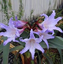 2 Barbados Lily Purple, Amaryllis Bulbs,Hippeastrum Bulbs Bonsai Color No.21